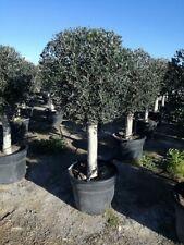Olivenbaum Andalusia BOLA Olea Europaea 1A Qualität aus Spanien Höhe ca. 2 Meter