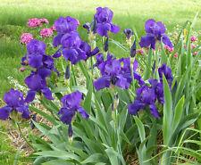 20! Dark Purple bearded Iris!
