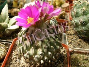 pelecyphora /  turbinicarpus aselliformis    10 SEEDS RARE cactus