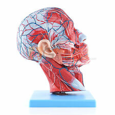 Medical Anatomical Model of Half Head And Neck with Vessels 27*10*20cm