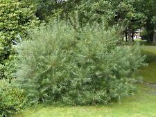 Salix rosmarinifolia saules à feuilles d'argousier  pot 3 litres