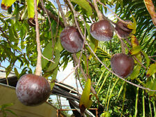 Red Custard Apple, Annona reticulata(*25+Seeds) Jamaican Apple ! Rare 25+SEED