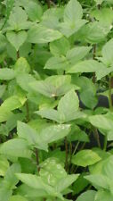 120 Semillas de Albahaca de Canela (Ocimum Basilicum) seeds