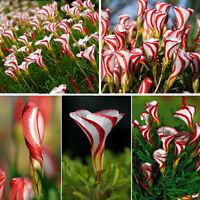 100pcs Oxalis versicolor Spiral Pflanzen Blumensamen Bonsai Seltene Blumen
