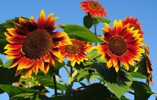 Sunflower EVENING SUN 25 Seeds (HEIRLOOM) Flowers