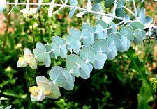 Eucalyptus pulverulenta 'Baby Blue' x 15 seeds