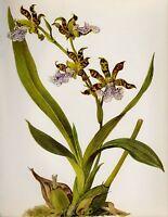Antique Botanical ORCHID Print Garden Gallery Wall Art Zygopetalum C. #2720
