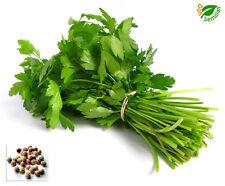 Cilantro ( 800 semillas ) seeds *Coriandro * Perejil Arabe * Coriandrum sativum
