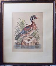 "Kupferstich Ente,""The Summer Duck of Catesby"", G.Edwards, London 1746, coloriert"