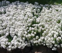 CANDYTUFT WHITE EVERGREEN PERENNIAL Iberis Sempervirens - 100 Seeds