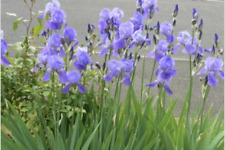 Tall bearded iris, purple flowers