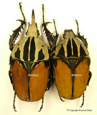 Mecynorrhina oberthuri unicolor  - pair, Beautiful, HUGE 70mm, Great!