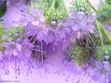 1000 Samen Büschelschön Bienenweide - Phacelia tanacetifolia Rainfarn-Phazelie