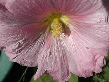 1 gram 100+ Organic Pink Red Hollyhock Seeds NightShade Farm Usa Alcea rosea
