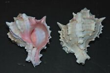 "Two (2) 3 to 4"" Pink Murex Sea Shells Beach Decor Nautical Tropical Reef"
