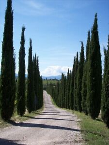Italian Cypress (cupressus sempervirens 'Stricta') approx, 25 seeds