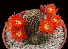 Rebutia Cajasensis (10 SEEDS) Cactus Samen Korn Graine Semi 種子 씨앗 Семена