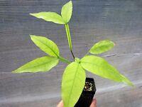 "1 Plant ~ 16"" Genip Spanish Lime Mamoncillo Melicoccus bijugatus Quenepa"