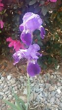 Purple Tall Bearded Iris ***3 Rhizomes*** Bulbs Fresh From My Garden