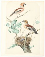 Jan Christiaan Sepp, orig.watercolour for Nederlandsche Vogelen, hawfinch c.1770