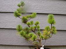 """Rare pine 6yr""""Pent Azuma"""""""