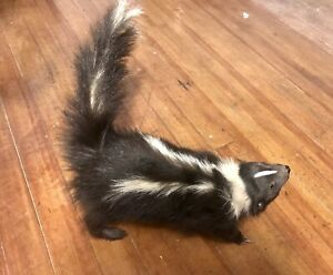 🦨 Taxidermy Young Skunk With Real Teeth Mount Life-size Possum Fox Beaver