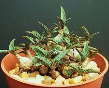 Scilla Violacea v Miner rare ledebouria exotic bulb seed succulent plant 5 SEEDS