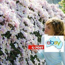 100 X CLEMATIS FLOWER / CLIMBER / SEEDS / MIXED COLOURS