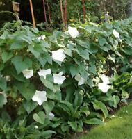 30 WHITE MOON FLOWER SEEDS - VINE TYPE 15FT - FRESH GARDEN USA