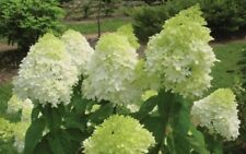 HYDRANGEA PANICULATA LIMELIGHT Shrub Bush 3Lit POTTED Green White Flowers