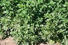 """ORGANIC APACHE thorn less blackberry plant unrooted cuttings 6-8"""" long 5 count"""