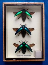3 GREEN JEWEL BEETLES STERNOCERA AEGUISIGNATA TAXIDERMY BEETLE INSECT ENTOMOLOGY