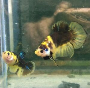 live fish betta Yellow galaxy male and female beautiful body color,Limited