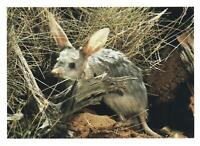 GREATER BILBY POSTCARD - OFFICIAL LARGE AUSTRALIA POST NEW