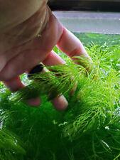 Hornwort - Live Aquarium Plant.....4 Stems..4 Inches Long