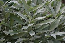 Sage Seeds- Broad Leaf- Heirloom Herb- 50+ 2017 Seeds   $1.69 Max Shipping/order