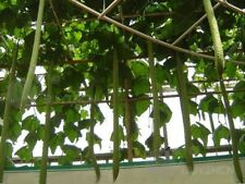 long suakwa towelgourd Melon vegetable seed 10 seeds Luffa cylindrica Roem.