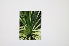 20 Seeds Cordyline australis,Piston tree,Clubs lily, # 245