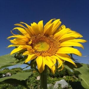 Mammoth Sunflower Seeds - Open-Pollinated for Seed Saving - Canada Heirloom