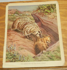 1934 Antique Print/Badger Digs Out Golden Marmot