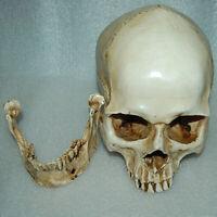 Lifesize 1:1 Human Skull Resin Model Anatomical  Realistic Skeleton White20x15cm