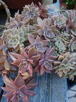 grand lot de boutures diverses plantes vivaces +verveine infusion ,LAURIER
