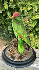 Taxidermy Green Parrot On Branch Tree Perch Plus Display Globe *