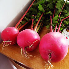 Red Garden Radish Seed 40 Seeds Raphanus Sativus Turnip Vegetable Seeds Hot C098