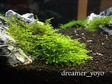Aquatic Plant Anchor Moss Rare Beautiful and Hardy ** BUY 2 GET 1 FREE **