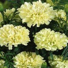 Marigold Tagetes Kilimanjaro White 50 Seeds Garden Seeds 2u