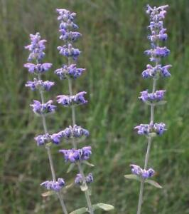 Nepeta curviflora – Syrian Catmint 3 plants in 9cm pots