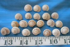 Taupe Mix ~  Shellcraft ~ Sailor/'s Valentines ~ ~ Modulus Shells ~ 20 ~ Ivory