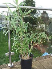 Bamboo Metake, Pseudosasa japonica  aka Arundinaria japonica,