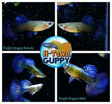 1 TRIO - Live Aquarium Guppy Fish High Quality -  Purple Dragon
